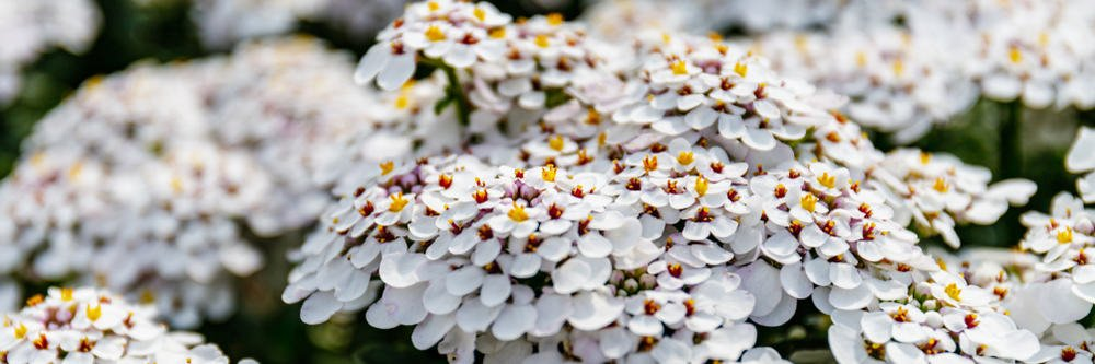 Beautiful little white flowers of the candytuft plants growing in clusters