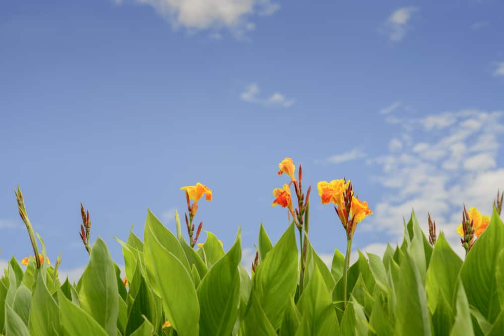 Heads of red and orange canna lily flowers popping up over their tall glossy leaves