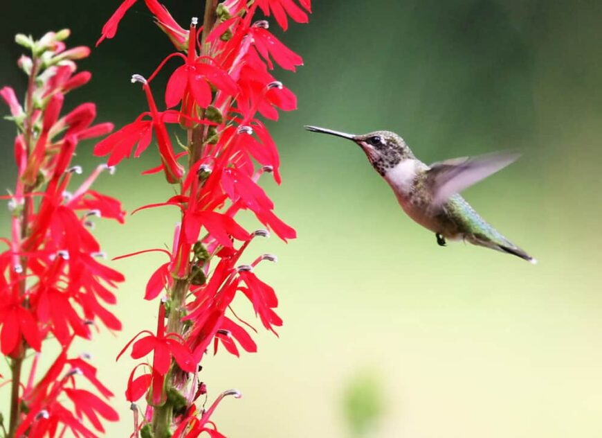 Beautiful flying hummingbird approaching the blossoms of a red cardinal flower