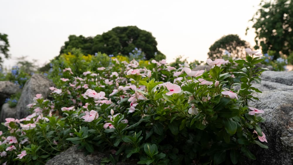 Beautiful pink madagascar periwinkle plants growing on rocks