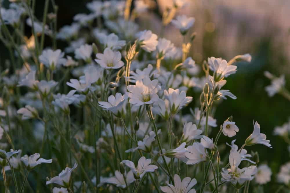 Beautiful snowy white snow in summer flowers in bloom with sunlight streaming through the foliage