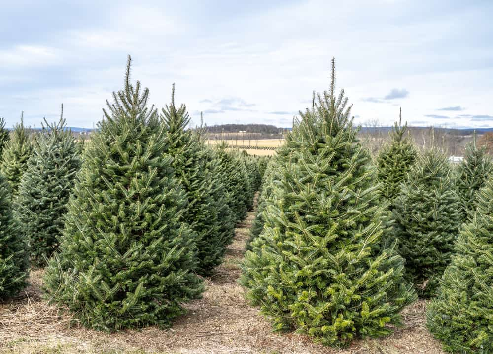 This is a close look at a Christmas tree farm with Fraser fir trees.