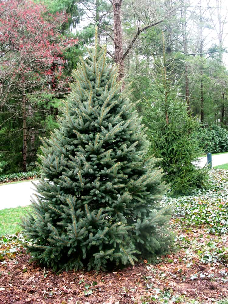 This is a close look at a Fraser Fir tree planted on the side of the driveway.