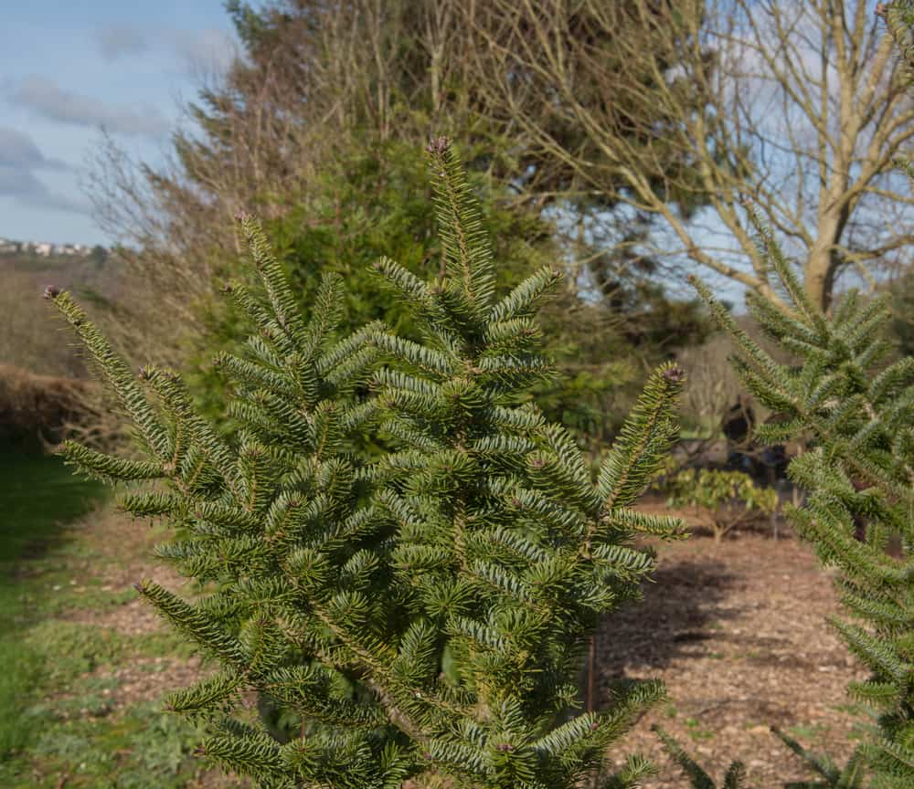 This is a close look at a Canaan Fir Tree with thick foliage.