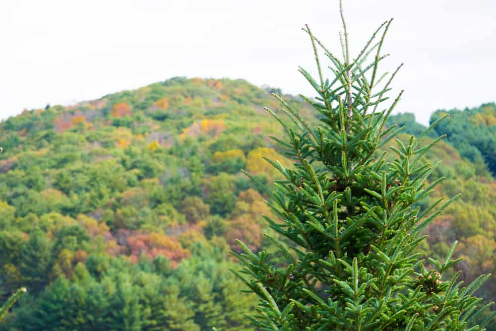This is a close look at the treetops of the forest that has Fraser Fir trees.