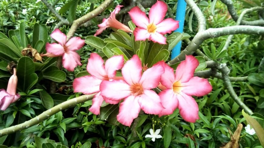 Absolutely stunning light pink and dark pink desert rose flowers in bloom again spirally arranged glossy leaves and twisted branches
