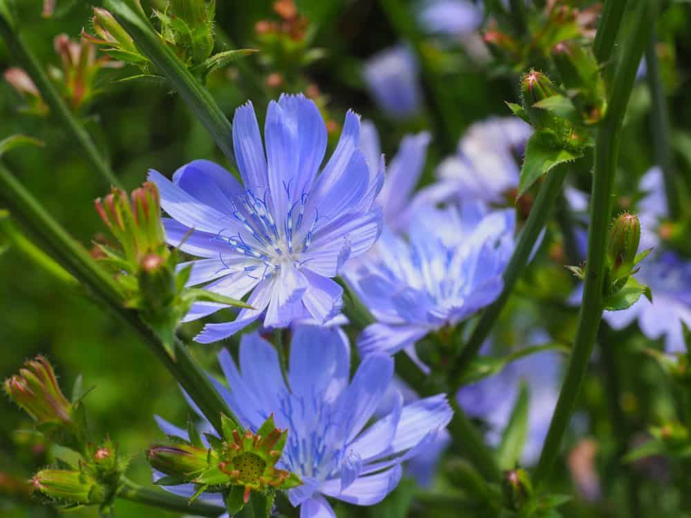 Bright violet purple flowers of the chicory plant