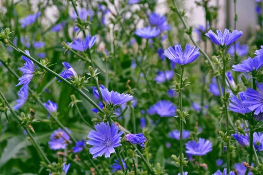 Beautiful vibrant purple flowers of the chicory plant in full bloom growing at the ends of stems in tall bunch