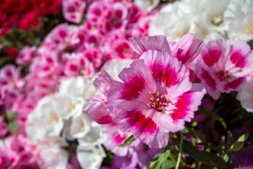 Incredible light pink and hot pink flower petals of the clarkia flower with blurry flower clusters in background