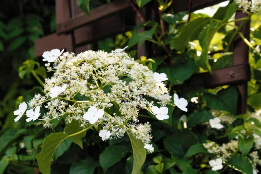 Beautiful white flowers and flower buds of the climbing hydrangea plant growing on a wooden trellis
