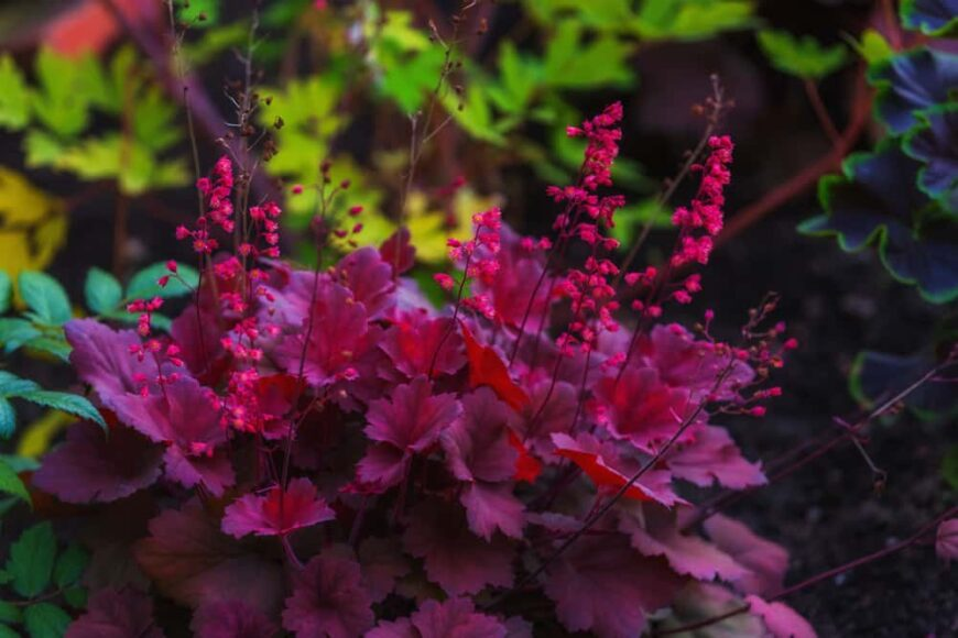 Beautiful dark purple foliage and bright pink flower spikes of the coral bell plant