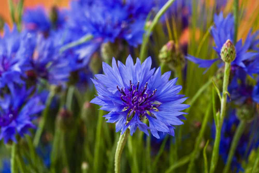 Several bright purple cornflowers with layers of ray florets growing in a lovely patch