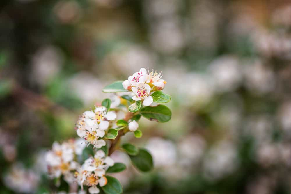 Focus on small white flowers of cotoneaster plant and small glossy green leaves against blurred background