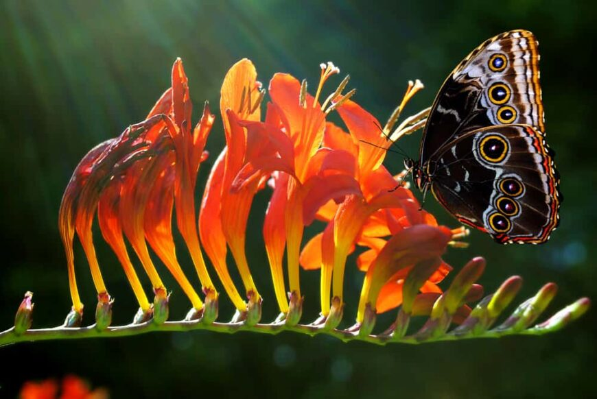 Beautiful blooming orange crocosmia flowers being visited by incredible butterfly shining in the sunlight