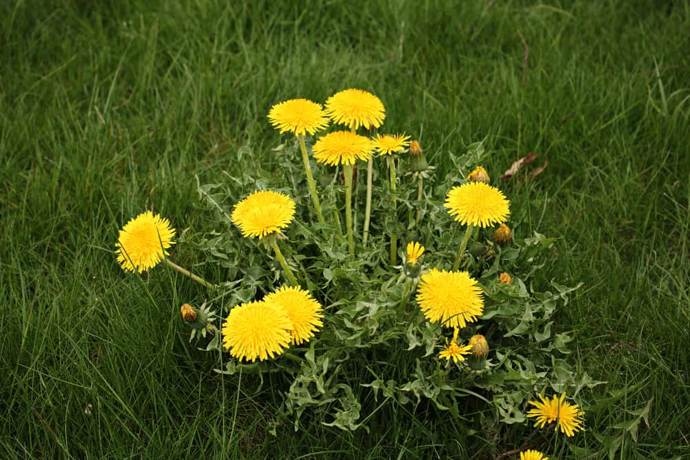 Lovely little dandelion patch growing in the middle of a grassy lawn with yellow flower heads and lobed leaves