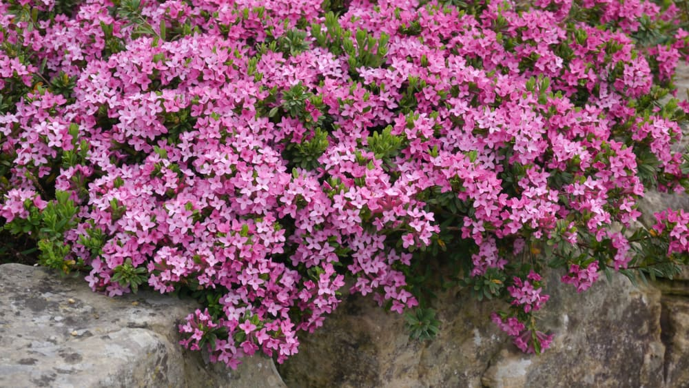 Beautiful flurry of bright pink daphne shrub flowers cascading over a brick wall as an ornamental plant