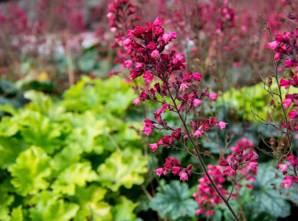 Bright magenta coral bell flowers growing in a beautiful ornamental garden