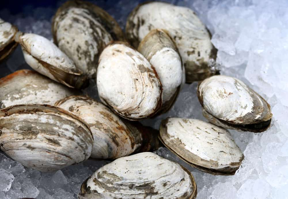 This is a close look at soft shell clams on ice.