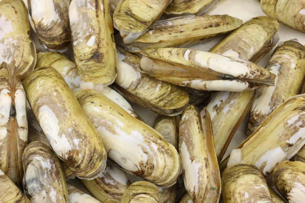 This is a close look at a bunch of razor clams.