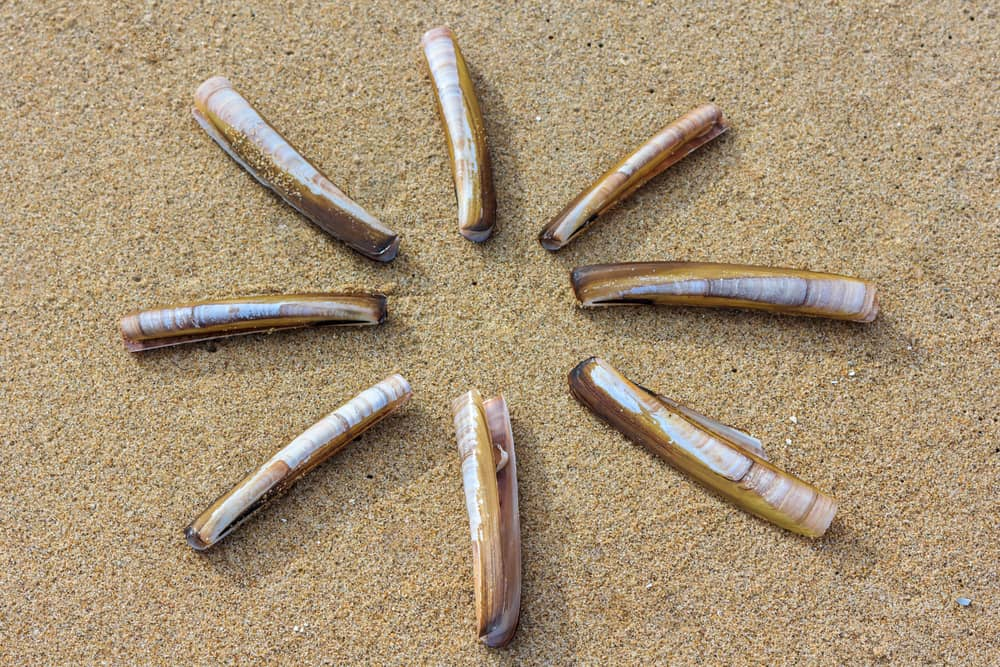 This is a close look at eight pieces of Atlantic razor clams on the beach.