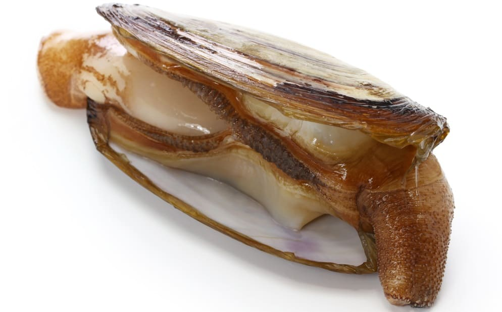 This is a close look at a single Pacific razor clam.