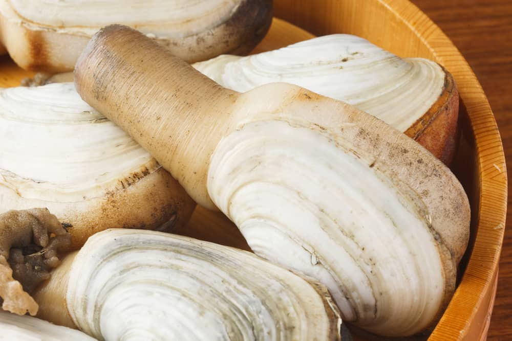 This is a close look at a bunch of geoduck clams.