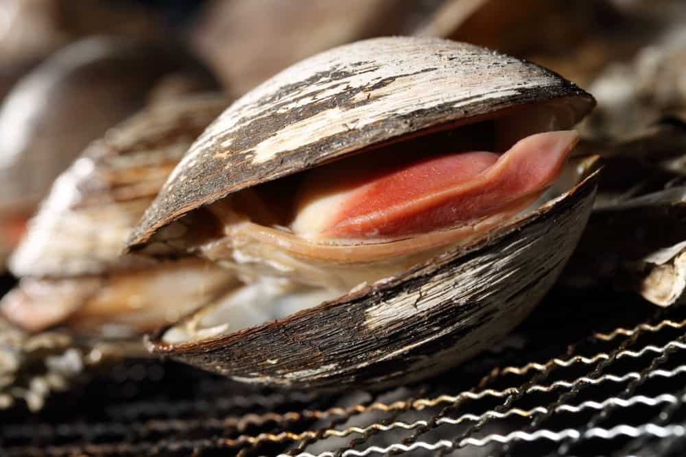 This is a closed look at a grilled surf clam.