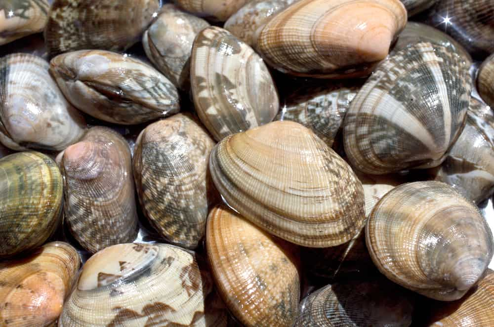 This is a close look at a bunch of Manila clams.