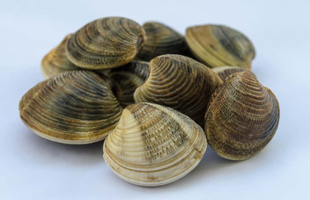This is a close look at a bunch of Atlantic surf clams.