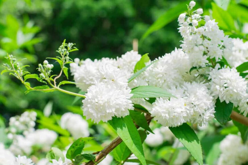 Beautiful white fluffy flower clusters of the deutzia shrub in full bloom with narrow green leaves