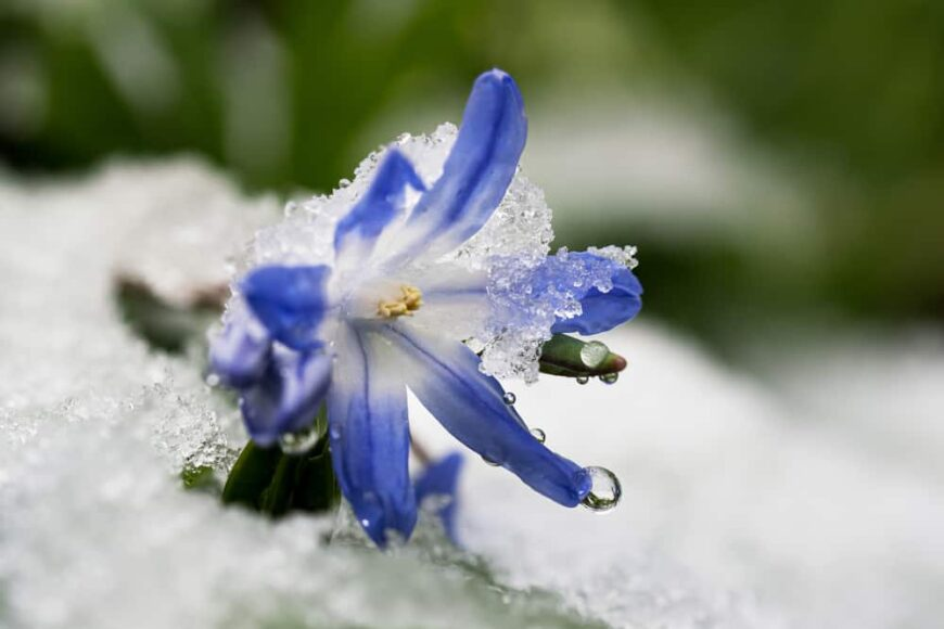 Single bright purple glory of the snow flower growing in deep snow