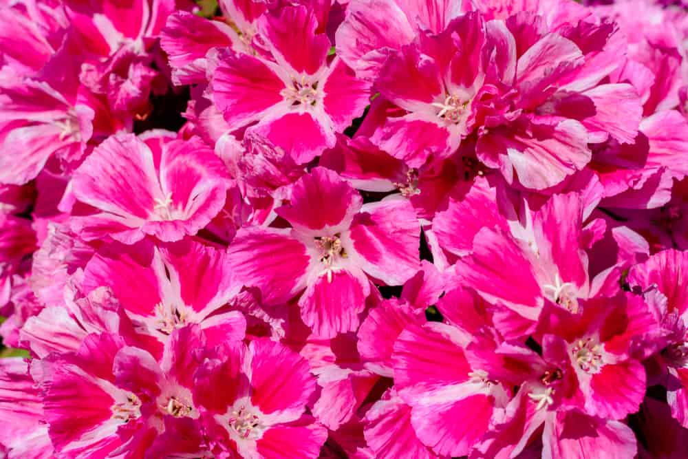 Incredibly explosion of bright pink flower clusters of the clarkia plant