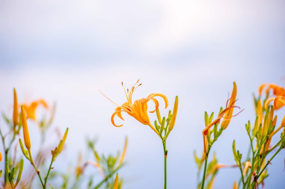 Incredible bright orange daylily flowers growing at the ends of long stems on a cloudy day