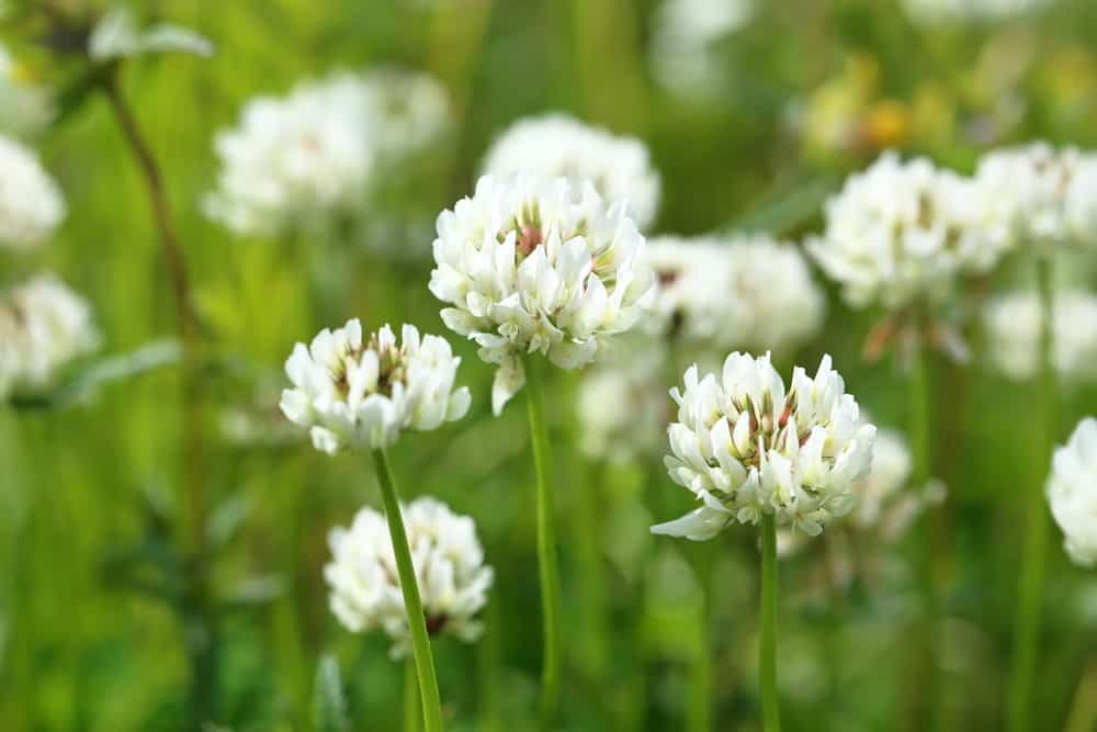 Lovely cluster of white clover flowers growing in a field