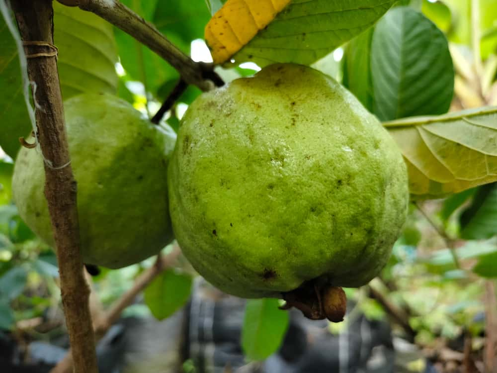 A close look at a couple of ripe guavas ready for harvest.