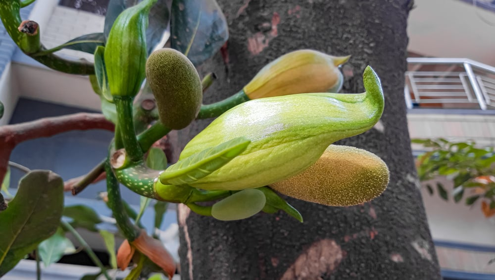 Pieces of juvenile jackfruits still growing on the tree.