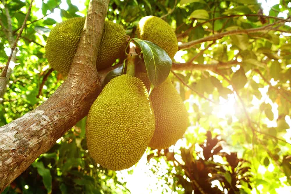 Unripe pieces of jackfruit still attached to the tree.