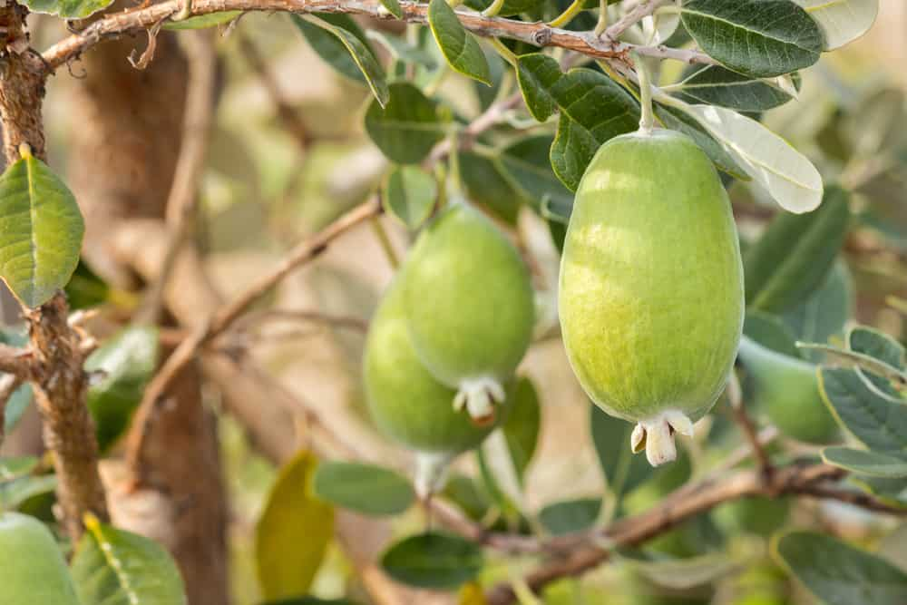 A close look at ripe pineapple guavas ready to be harvested.