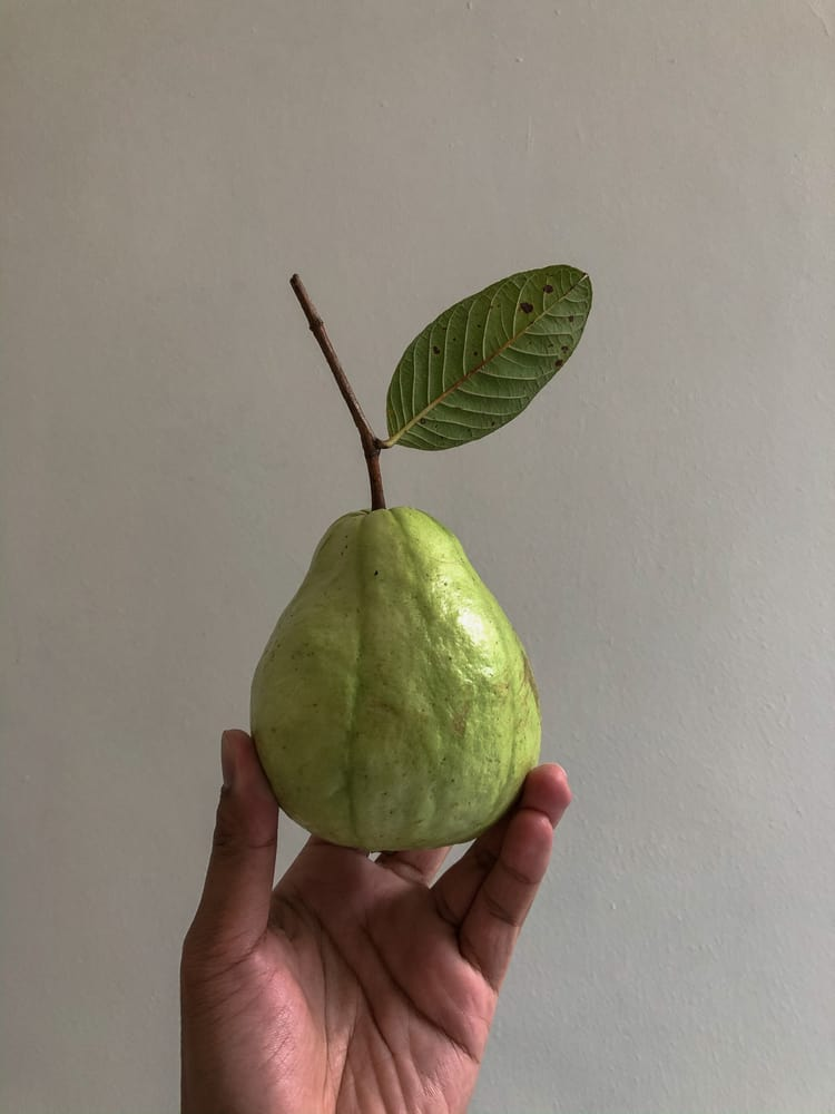 A hand holding a ripe sweet white Indonesian guava.