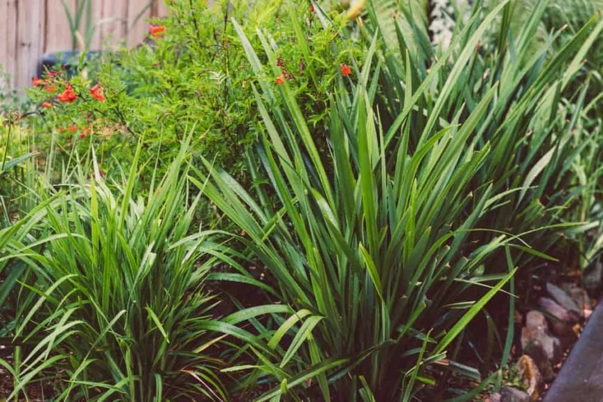 Beautiful and long blade like leaves of the dianella plant growing in a full garden