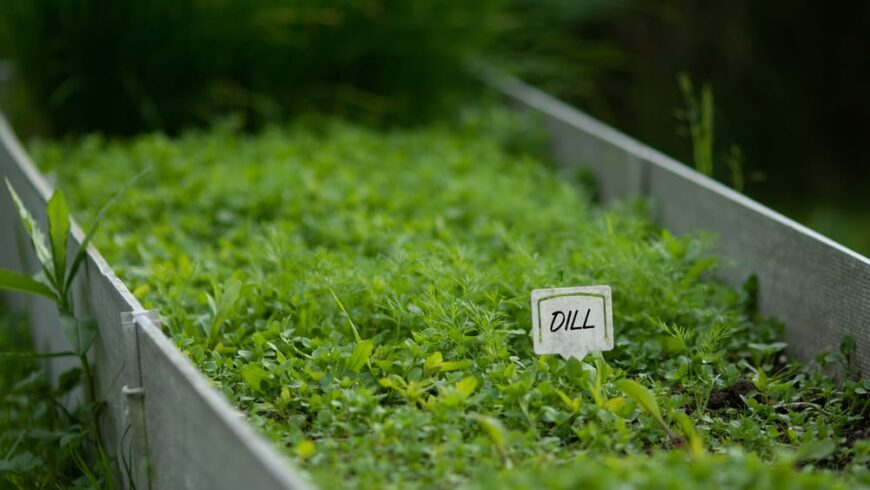 Small garden planter filled with small dill seedlings with a homemade sign that says dill