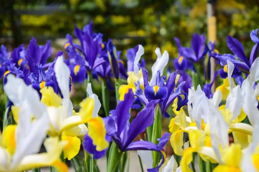 Beautiful bright yellow and dark purple dutch iris flower blossoms in full bloom in early spring