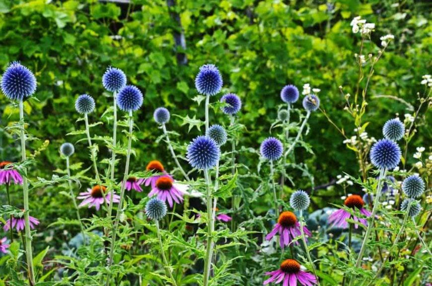 Beautiful dark blue echinops flower heads growing in a wild garden with purple black eyed susans