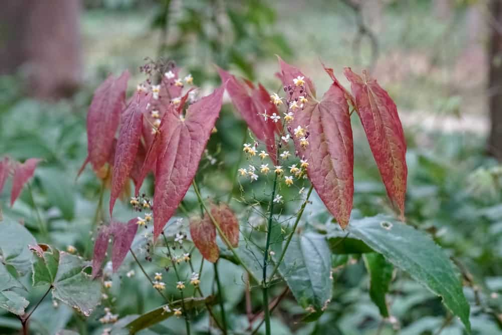 Lovely tiny white and yellow epimedium flowers growing amongst huge heart shaped maroon flowers in the forest