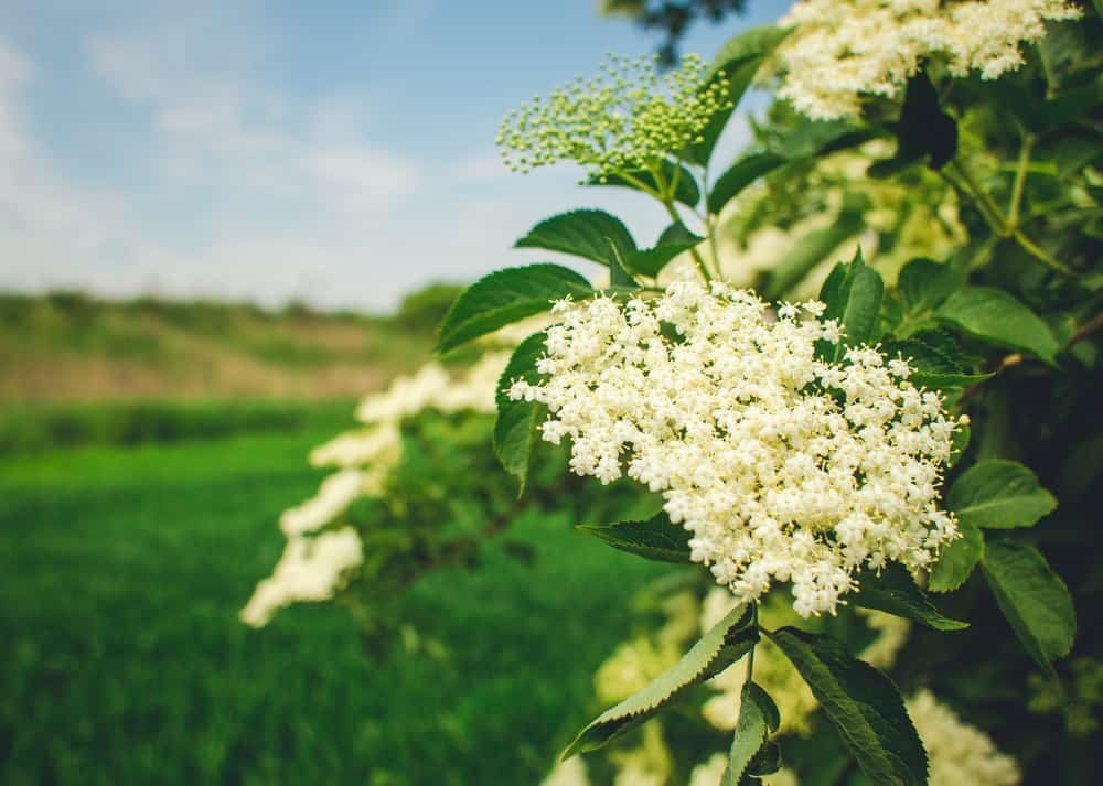 Lovely dainty white flower clusters of the elder shrub in late spring growing beside large sunny field