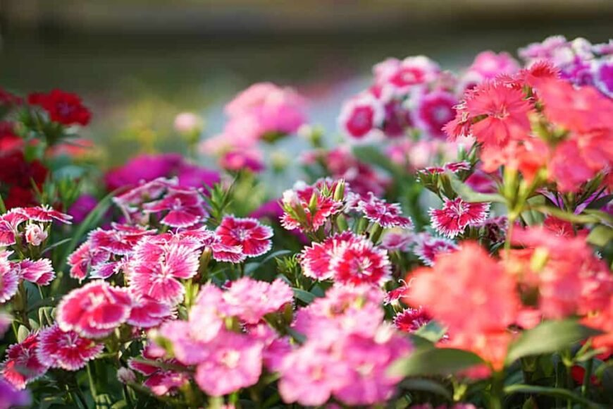 Beautiful wildflower garden with double colored sweet william flowers in the forefront