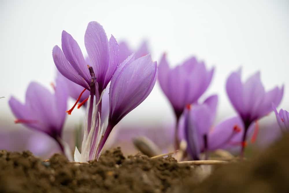 Beautiful light purple autumn crocus flowers in focus popping their heads out of the cold soil on a cloudy day