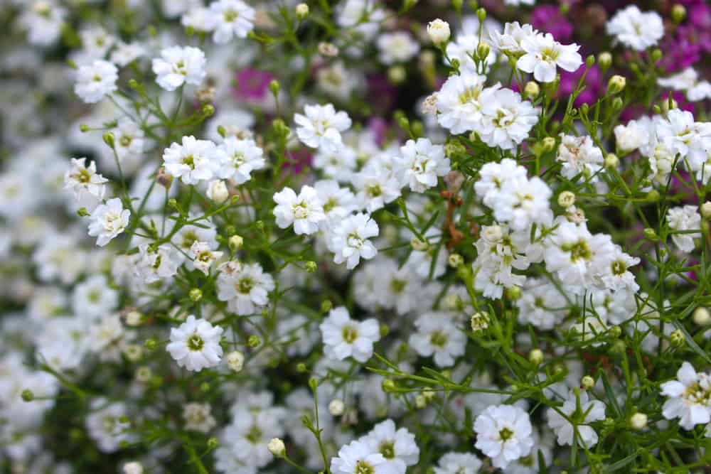 Clusters of baby breath flowers growing in a garden.