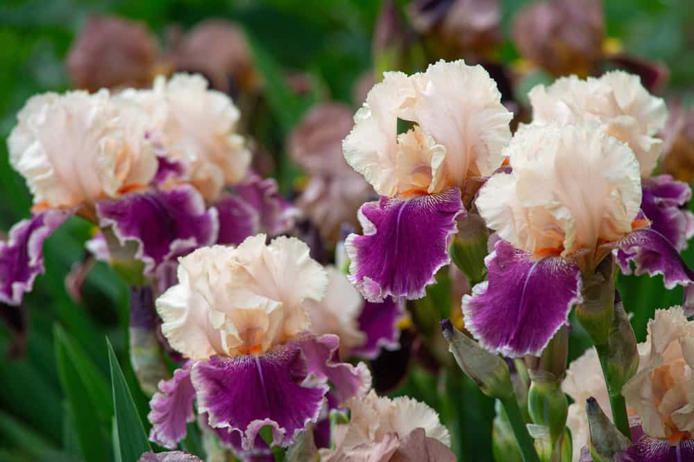 Bearded Iris with with pale peach and purple flowers growing in a spring garden.