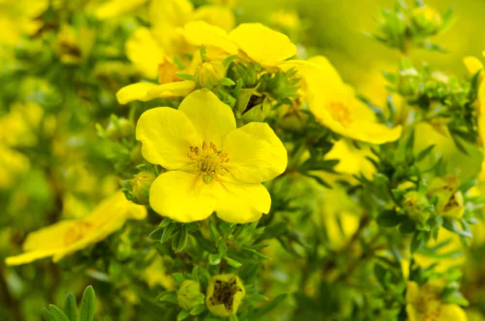 Focus on striking bright yellow flower petals of the evening primrose with new seeds about to disperse